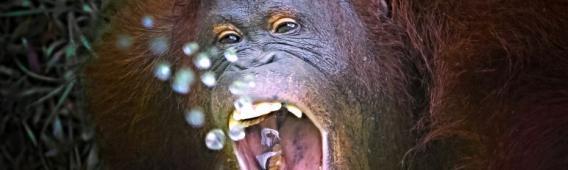 Borneó, naponta 7 orangután veszti életét az erdőirtások és az élettér elvesztése miatt.